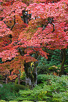 Japan Nikko Rinnoji Temple Maple trees in Fall colors