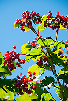 Red berries against a blue sky.
