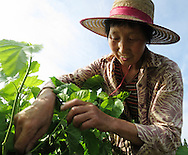 Farmer pruning a mulberry tree. Shezhong Village, Linghu County, Zhejiang Province, China.  The mulberry tree leaves grown on the dykes of the fish pond generate food for silk worms, creating an integrated, sustainable system of fish farming and silk production.