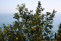 Lemon tree in Roquebrune Village South of France