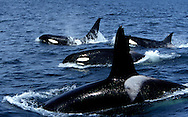 Pod of Transient Killer Whales; 2 males, and 2 females on this photograph. Photo taken in Monterey Bay, California, USA