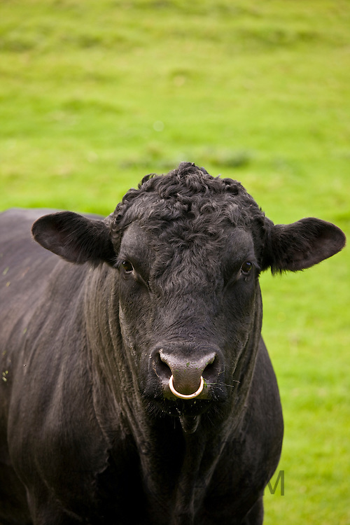 Black bull with ring through nose in paddock meadow in The Cotswolds, Oxfordshire, England, United Kingdom