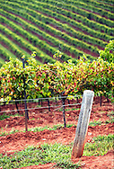 Copyright JIm Rice ©2013.GRAPE VINES ..HUNTER VALLEY .AUSTRALIA