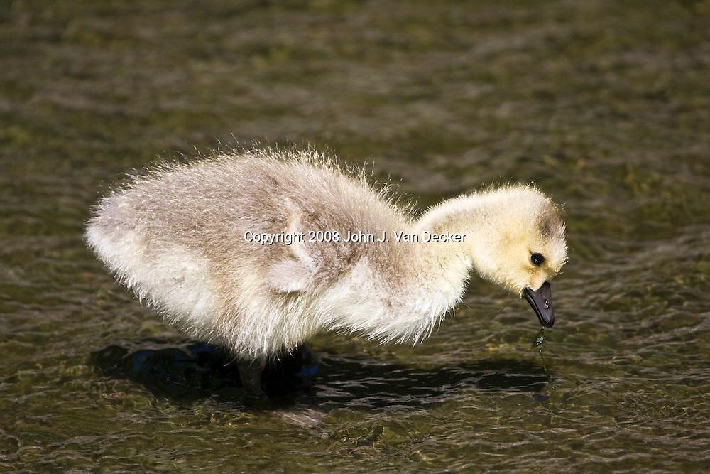 Canada Goose, Branta canadensis, gosling feeding in a shallow stream fledgling, fledglings