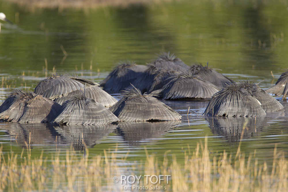 Black Heron (Egretta ardesiaca) canopy feeding, Duba Plains, Botswana