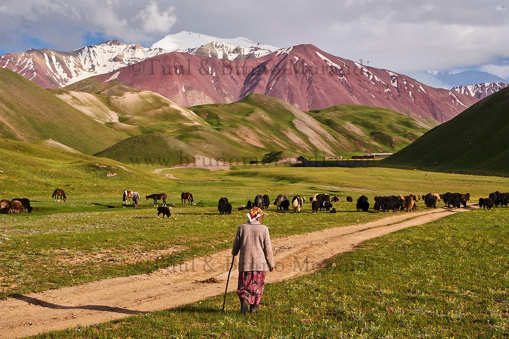 Kirghizistan, province de Osh, la vallée d'Alaï, troupeau de yak // Kyrgyzstan, Osh province, Alaï valley, yak herd