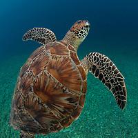 Green Turtle, Chelonia mydas, Pom Pom Island, Sabah, Borneo, East Malaysia, South East Asia