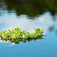Detail of water lettuce plants floating on the Yanayacu River in the headwaters of the Amazon River in Peru's Pacaya-Samiria National Reserve.