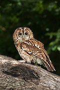 Tawny Owl (Strix aluco)<br /> Secret World Wildlife Rescue Center<br /> Somerset<br /> England<br /> UK<br /> Captive