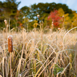 Fall foliage and cattails in a wetland on the Benjamin Farm in Scarborough, Maine.