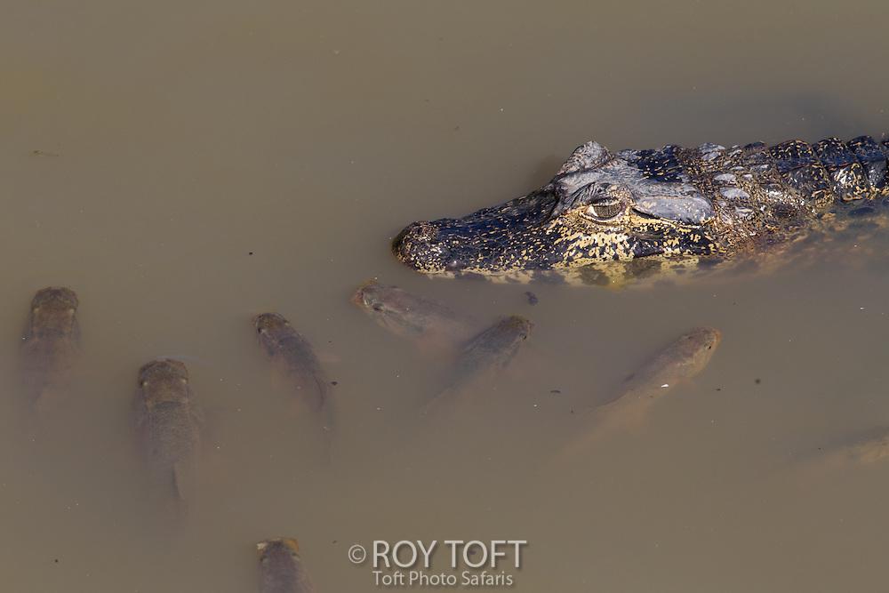 Spectacled Caiman (Caiman crocodilus), Pantanal, Brazil