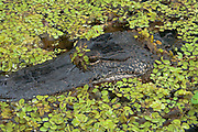 Photograph of American alligator in a Louisiana swamp.
