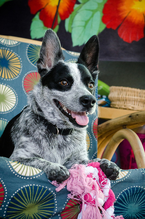 Smiling young cattle dog on a colorful chair with a pink rope toy.