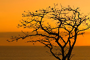 Leafless tree at dusk in Pacheca Island. Las Perlas Archipelago, Panama province, Panama, Central America.