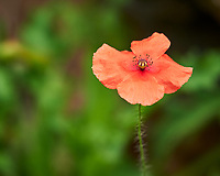 Icelandic Poppy. Image taken with a Nikon D850 camera and 200-500 mm f/5.6 VR lens.