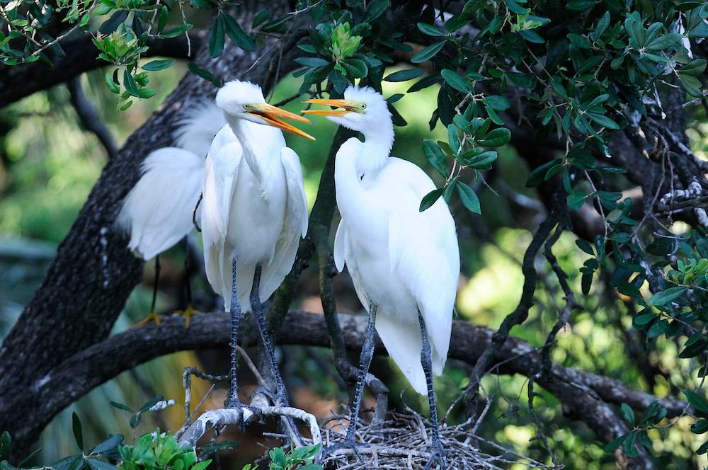 Snowy Egret (Egretta thula), Alligator Farm, Zoological Park, St. Augustine, Florida, USA
