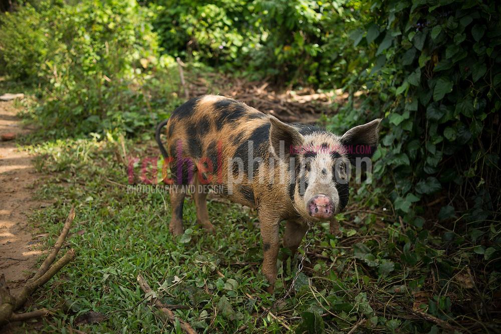 Cuba, Viñales, landscape, farm houses, pig, cerdo