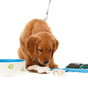 Golden Retriever puppy sniffing dog toy copy space horizontal