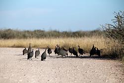NAMIBIA ETOSHA 30APR14 - Guineafowl near Namutoni, Etosha National Park, Namibia.<br /> <br /> <br /> <br /> jre/Photo by Jiri Rezac<br /> <br /> <br /> <br /> © Jiri Rezac 2014