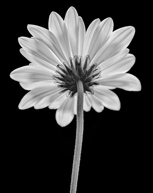 The back side of a daisy flower with stem in focus.