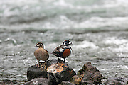 Harlequin ducks, pair in breeding plumage,