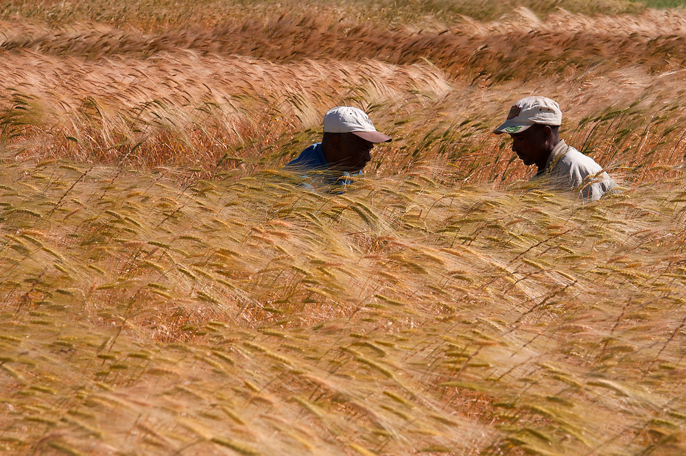Local wheat varieties in test plants at the Ejere Farming Community Seed Bank in Ejere, Ethiopia. It was built by Ethio Organic Seed Action to help farmers regain traditional local varieties of grain that are better adapted to their location. Seed bank members donate seeds and in turn get seeds from the seed bank. Regassa Feyissa with EOSA is one of the founders and promoters of the seed bank and helps the local farmers. <br /> <br /> The big variety of wheat varieties are important to maintaining biodiversity in the crop and because of how different varieties respond to varying climate and weather patterns from year to year. <br /> <br /> Farmers seen in the seed bank with Regassa include Taddesse Retta, chair of the Farmer Conservator Association and Eshetu Badada, the treasurer. <br /> <br /> <br /> Contact:  Regassa Feyissa<br /> Ethio Organic Seed Action (EOSA)<br /> eosa1@ethionet.et<br /> reg_fey@hotmail.com<br /> Tel: +251 11 5 50 22 88<br /> Mobile: +251 911 24 83 40<br /> Addis Ababa, Ethiopia