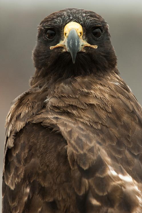 Galapagos hawk<br /> Buteo galapagoensis<br /> Santa Fe Island, Galapagos, ECUADOR.  South America<br /> ENDEMIC TO GALAPAGOS