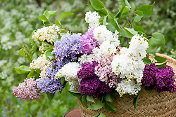 Lilacs in a basket. Syringa vulgaris 'Ogni Moskvy', 'Firmament', 'Lucie Baltet', Madame Lemoine', 'Primrose', 'Maud Notcutt', 'Esther Staley'