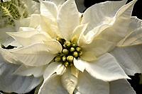Poinsettia: Princettia Pure white (new in 2017)