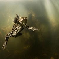 Toads - Amphibians - Sweden