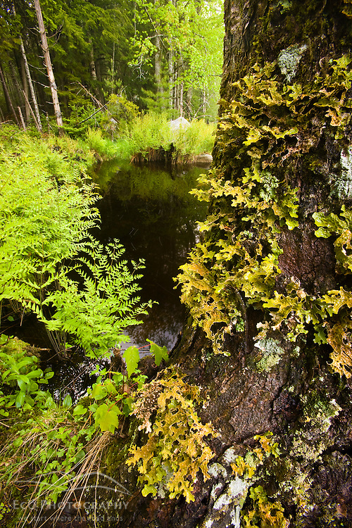 Ferns and a lichen-covered (Lobaria Pulmonaria) maple tree next to Moores Brook in Ellsworth, Maine.  Moores Brook empties into Branch Lake.