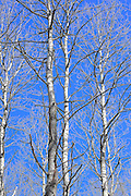 Aspens in Early Spring