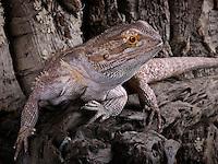Bearded Dragon(Pogona vitticeps)