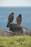 2 Galapagos hawks perch near a cliff on Española island in the Galapagos.