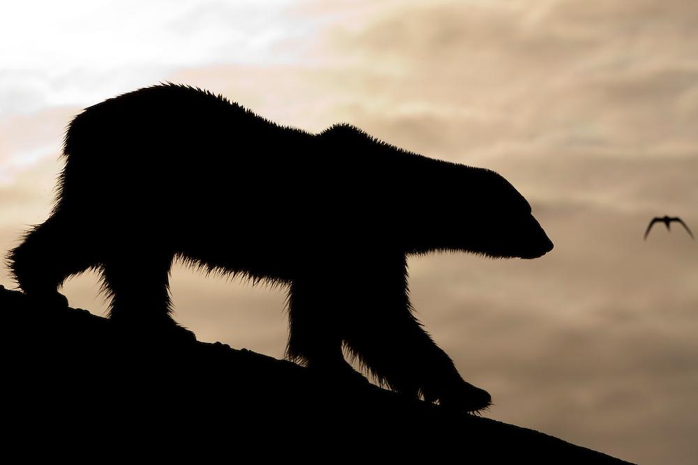 Norway, Svalbard, Spitsbergen Island, Silhouette of adult male Polar Bear (Ursus maritimus) walking on mountainous island in Fuglefjorden lit by midnight sun