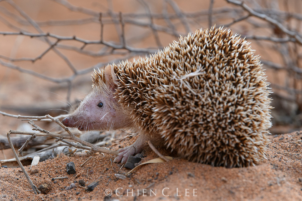 Nearly a splitting image of its namesake, a Lesser Hedgehog Tenrec (Echinops telfari) is a remarkable example of convergent evolution. All of Madagascar's tenrecs, which are more closely related to golden moles and elephant shrews, are descendent from a single colonizing ancestor, which has diversified into a variety of species to fill various niches. This particularly spiny one is native to the island's arid southwest, where it forages for ground insects much like the European hedgehogs.