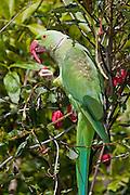 Indian Ringneck, green