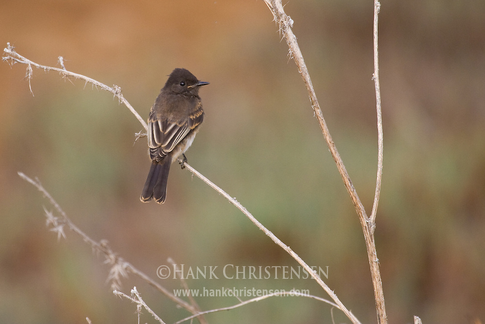 Black Phoebe perched on stick