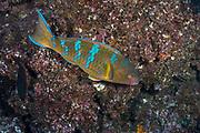 Blue-chin Parrotfish (Scarus ghobban)<br /> Buccaneer Cove, Santiago Island<br /> Galapagos<br /> Pacific Ocean<br /> Ecuador, South America