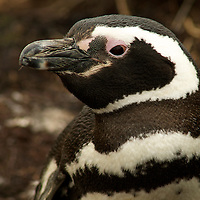 Penguin of the Day - Magellanic