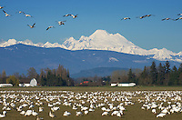Flocks of Snow Geese (Chen caerulescens) in Skagit Valley Washington, Mount Baker in the Background