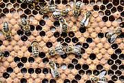 Nederland, lent, 25-6-2014 In een boomgaard staan bijenkasten waar bijen de bloesem bestuiven. Foto: Flip Franssen/Hollandse Hoogte