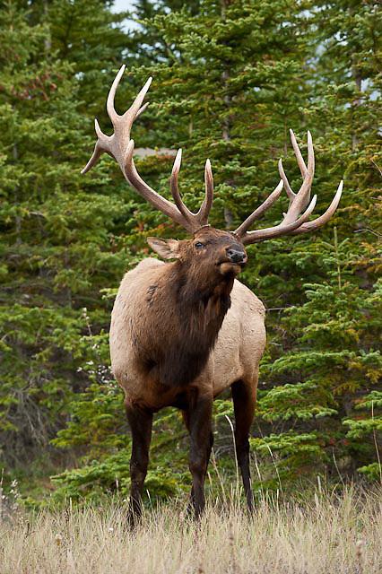bull elk trophy rutting