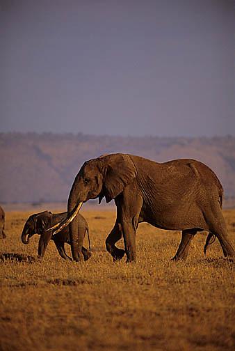 African Elephant, (Loxodonta africana)  Mother and baby. Serengeti Plains.Masai Mara Game Reserve. Kenya. Africa.