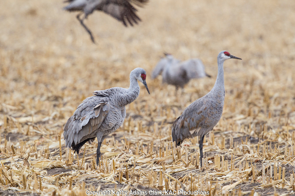 Sandhill crane, Grus canadensis, corn field, near Platte River, during spring migration, Grand Island, Nebraska.