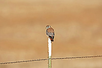 A male American kestrel in the west desert of Utah sits on a farmers fence post in the warm sun.