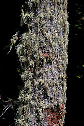 Old Man's Beard lichen growing on a tree, Isle Royale National Park, Michigan, United States of America