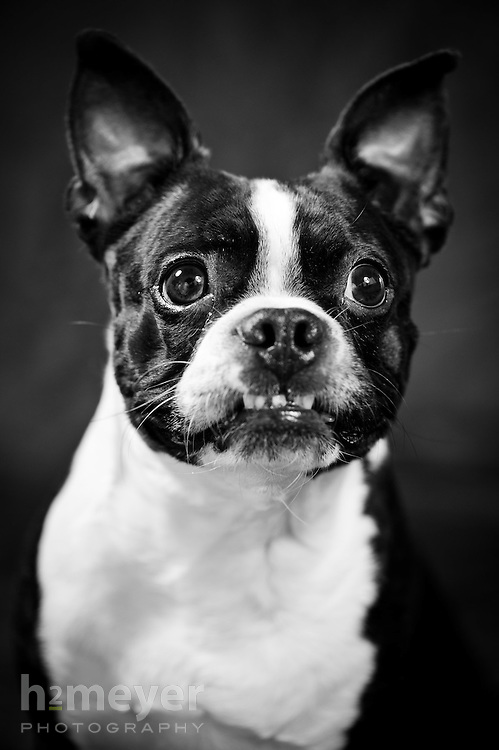 Boston Terrier black & white - owner Danielle Arthurs