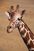 Giraffe, Oakland zoo. 1999
