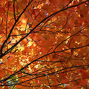 """Golden Canopy""<br />